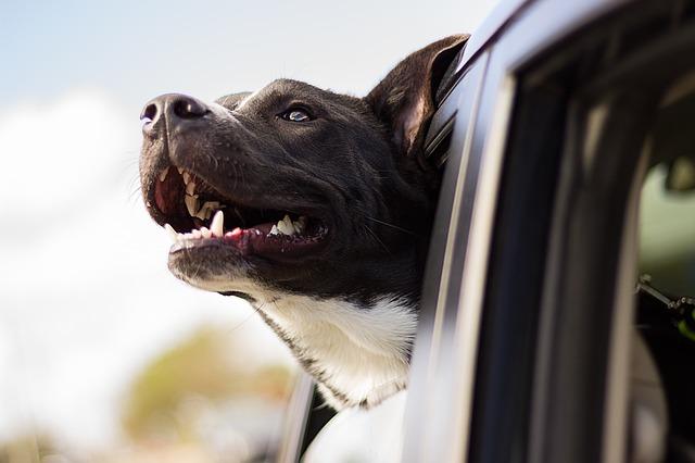 psí jízda autem