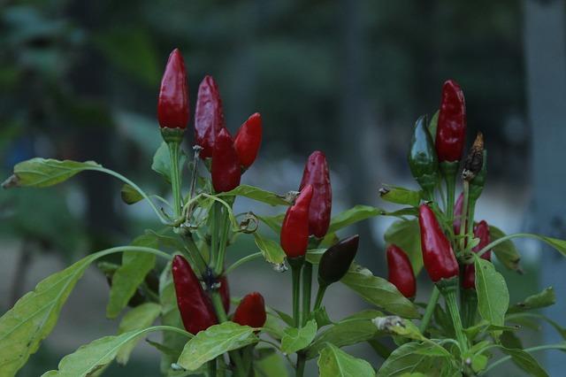 kajenský pepř – papričky v čerstvém stavu
